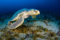 Kemp's ridley sea turtle, Lepidochelys kempi, the world's rarest and smallest, makes an extremely rare appearance on a deep reef in Palm Beach, Florida, USA, Atlantic Ocean