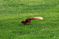 A red squirrel foraging for food during Round 4 of the Connacht Stroke Play Championship 2019 at Portumna Golf Club, Portumna, Ireland. 09/06/19<br /> <br /> Picture: Thos Caffrey / Golffile<br /> <br /> All photos usage must carry mandatory copyright credit (© Golffile | Thos Caffrey)