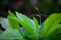 Cuiaba_MT, Brasil...Parque Mae Bonifacea em Cuiaba, Mato Grosso. Na foto detalhe de uma planta...Mae Bonifacia Park in Cuiaba, Mato Grosso. In this photo a plant...Foto: JOAO MARCOS ROSA / NITRO..