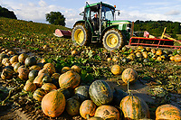 Austria Styria, cultivation of pumpkin, the seeds are used for processing of pumpkin seed oil, harvest with John Deere tractor, after pushing together the pumpkins will be picked up with spiked roller tool and the seeds will separated from fruit / Oesterreich Steiermark, Anbau von Kuerbis und Verarbeitung zu Kuerbiskernoel, Ernte mit John Deere Traktor bei Landwirt Alois Thie in Oberlamm