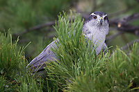 Northern Goshawk perched in a pine tree