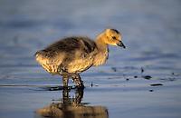 Canada Goose gosling. Spring. North America. (Branta canadensis).