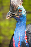 Southern cassowary (Casuarius casuarius) birds are found in southern New Guinea, northeastern Australia, and the Aru Islands, mainly in lowlands