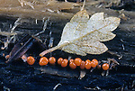 Slime Mold sporangia or fruiting bodies (Myxomycete), Gatineau Park, Ottawa, Canada