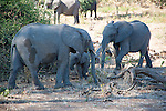 Adult Elephants Shielding Baby in Chobe National Park in Botswana in Africa