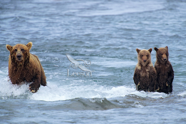 Coastal grizzly bears (Ursus arctos), mom fishing while cubs wait.  McNeil River, Alaska.  August.