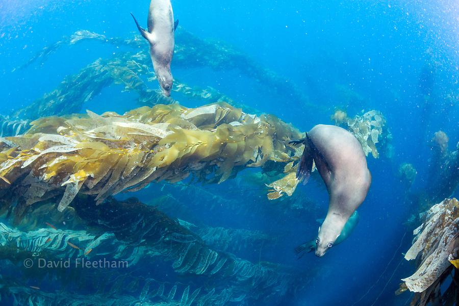 California sea lions, Zalophus californianus, playing in a kelp forest off Santa Barbara Island, California, USA.