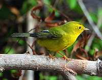 Juvenile male Wilson's warbler in fall migration