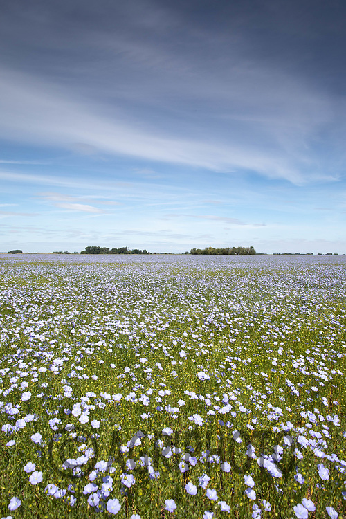 27.5.2020 Linseed flowering <br /> ©Tim Scrivener Photographer 07850 303986<br />      ....Covering Agriculture In The UK.