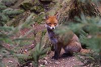 Rotfuchs, Rot-Fuchs, Fuchs, Vulpes vulpes, red fox