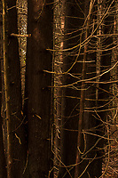 Cedar branches make a bright contrast against the dark bark of the trunks in the woods around Meaford, Ontario.