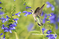 01162-15116 Ruby-throated Hummingbird (Archilochus colubris) at Blue Ensign Salvia (Salvia guaranitica ' Blue Ensign') in Marion County, IL