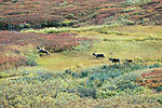 A herd of caribou run through grass and brush in Denali National Park, Alaska.