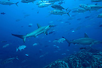 Scalloped Hammerhead sharks swim through a school of jacks underwater at Cocos Islands off the coast of Costa Rica.