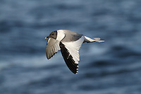 Sabine's Gull Xema sabini - Summer plumage. L 30-35cm. Distinctive seabird. Can only be confused with juvenile Kittiwake but upperwing patterns are separable with care. Sexes are similar. Adult in summer has blue-grey back and upperwings, dark hood, dark wingtips with white spots and dark bill with yellow tip. In flight, upperwing pattern is diagnostic: triangular patches of black, white and grey. Tail is forked. In winter, similar but dark smudges on nape replace dark hood. Juvenile has a upperwing pattern to adult but triangle of grey replaced by scaly grey-brown. Forked tail is dark-tipped. Voice Silent. Status Nests in high Arctic and winters at sea in southern oceans. Seen here mainly as offshore passage migrant in autumn. Does not willingly come close to land.