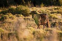 Europe/France/Provence-Alpes-Côte d'Azur/13/Bouches-du-Rhône/Env d'Arles/Le Sambuc:  Taureaux race camargue
