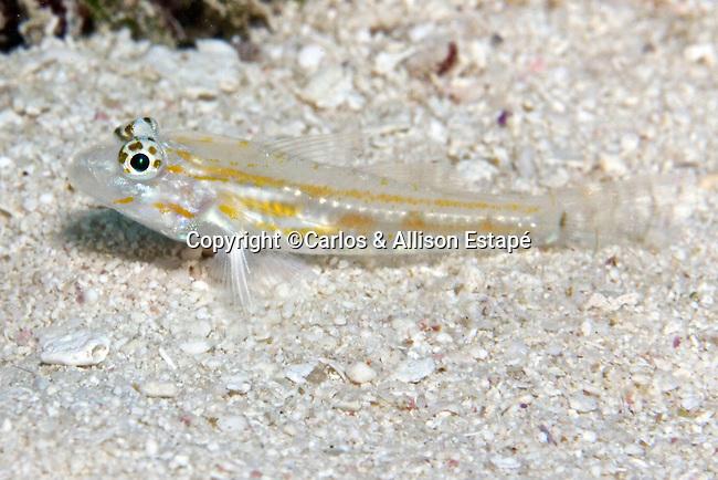 Coryphopterus eidolon, Pallid goby, Florida Keys