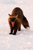 A cross fox takes a big stretch and yawns on Alaska's north slope.