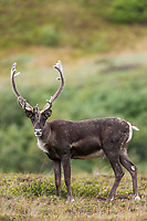 Barren ground bull caribou in velvet antlers on the tundra vegetation in Denali National Park, Interior, Alaska.