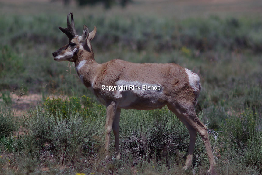 Pronghorn (Antilocapra americana) commonly called antelope seen on a summer day in southern Utah's, Bryce Canyon National Park