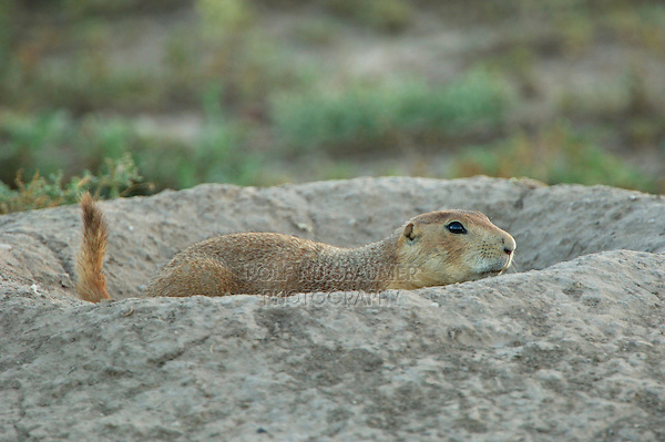 Black-tailed Prairie Dog, Cynomys ludovicianus, adult at entrance to burrow, Lubbock,Texas,USA