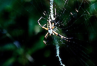 SPIDERS<br /> Female Golden Orb Spider on Web<br /> Bodie Island, NC<br /> Orb spiders build spiral wheel-shaped webs often found in gardens, fields and forests. Their common name is taken from the round shape of this typical web.