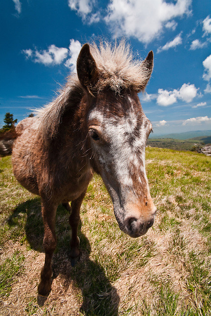 Highlands Pony, Mount Rogers National Recreation Area