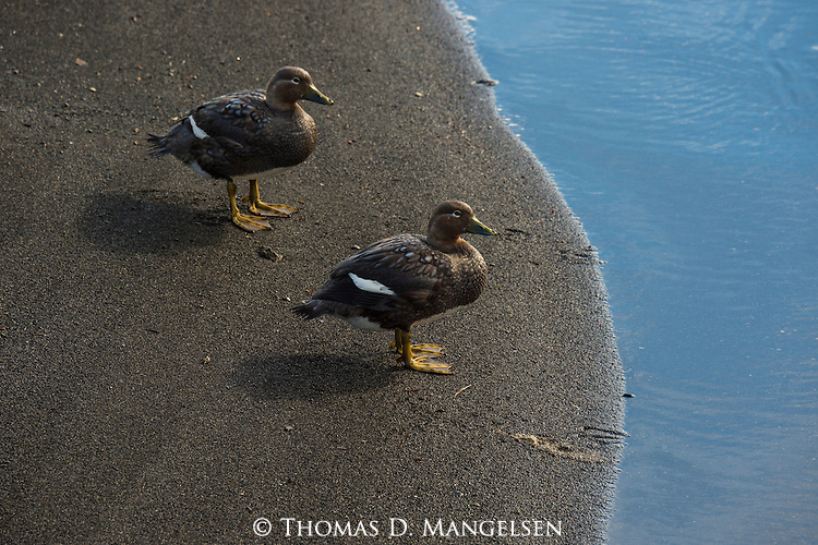 A pair of Flying Steamer Duck perch on the waters edge in Patagonia, Chile.