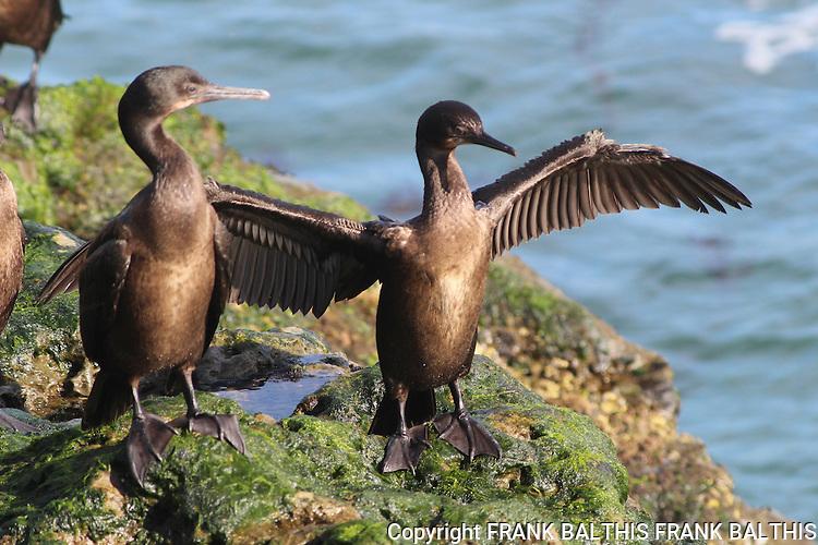 Cormorants in Santa Cruz.   West Cliff Drive