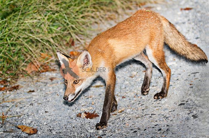 Red Fox walking along gravel road in Delaware