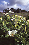Cala Lillies on the Mendocino Headlands, with view of Ford House in the background, Mendocino California