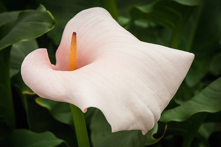 "Zantedeschia 'Queen of Dominica', a pale pink Arum lily on show at Chelsea Flower Show 2014. ""The variety, 'Queen of Dominica' appears not to exist, in the UK at least. Despite its uncertain identity, I felt this lovely flamingo-coloured flower deserved a mention. If you are as taken by it as I am, Zantedeschia aethiopica 'Marshmallow' has a similar stature and colouring."" http://frustratedgardener.com/2014/05/26/chelsea-flower-show-2014-top-10-plants/"