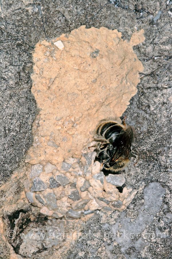Hornklee-Felsenbiene, Nest an einem Felsen, Hoplitis loti, Osmia loti, Mauerbiene, Mauerbienen
