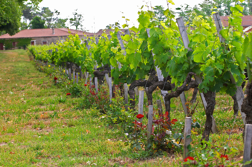 Rows of vines and at the end of each row a rose bush Chateau Bouscaut Cru Classe Cadaujac Graves Pessac Leognan Bordeaux Gironde Aquitaine France