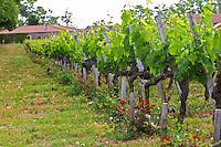 Rows of vines and at the end of each row a rose bush Chateau Bouscaut Cru Classe Cadaujac Graves Pessac Leognan Bordeaux Gironde Aquitaine France