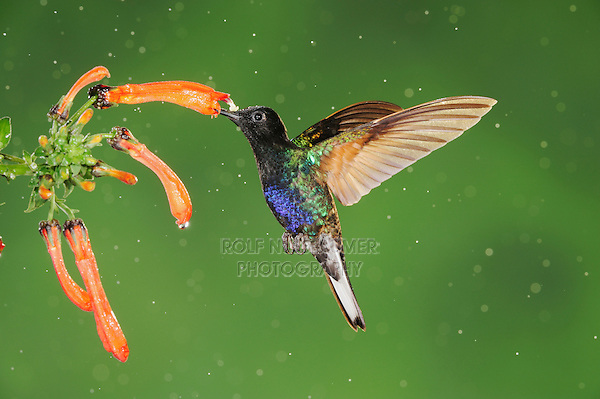 Velvet-Purple Coronet (Boissonneaua jardini), adult feeding on flower during rain fall, Mindo, Ecuador, Andes, South America
