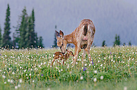 Columbian black-tailed deer (Odocoileus hemionus columbianus) doe licking (cleaning) fawn among bistort and a few lupine wildflowers. Pacific Northwest.  Summer.