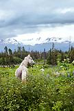USA, Alaska, Homer, a horse in a pasture, East End Road near Kachemak City