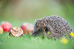 A rescued European hedgehog about to be released.