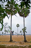 Cambodia; Sugar Palm Tree Harvest
