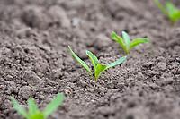Sugar beet plants - Lincolnshire, April