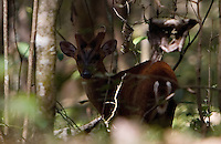 20080201_Periyar, India_ A Barking deer forages in the woods of the Periyar Wildlife Sancuary in the Southern Indian state of Kerala.  Photographer: Daniel J. Groshong/Tayo Photo Group