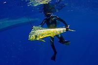 Mahai mahi (dorado or dolphin fish), Coryphaena hippurus, caught by spearfisher, Bonaire, Netherland Antilles, Caribbean Sea, Atlantic Ocean