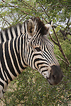 UMFOLOZI - 5 January 2006 -  A Zebra in the Hluhluwe-Umfolozi Park in northern KwaZulu-Natal..Picture: Giordano Stolley