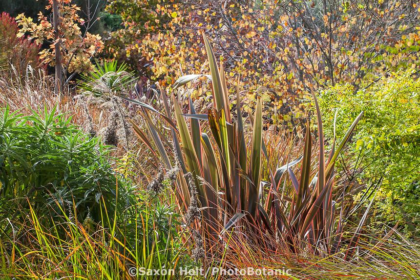Colorful Phormium 'Guardsman' in summer-dry garden California garden