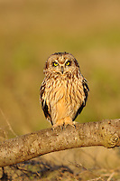 A short eared owl perched at sunset
