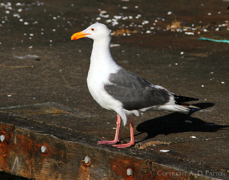Western gull in breeding plumage