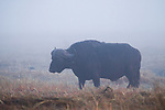 Cape Buffalo (Syncerus caffer) bull in mist, Busanga Plains, Kafue National Park, Zambia