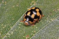 Vierzehnpunkt-Marienkäfer, Schachbrett-Marienkäfer, Vierzehnpunktiger Marienkäfer, Vierzehnpunktmarienkäfer, Schachbrettmarienkäfer, Propylea quatuordecimpunctata, Propylaea quatuordecimpunctata, Fourteen-Spot Ladybird Beetle