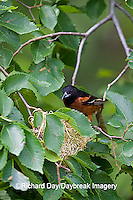 01618-011.02 Orchard Oriole (Icterus spurius) male at nest,  Marion Co. IL